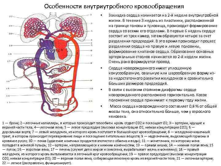 Кардиогенез :: кнорре а.г. краткий очерк эмбриологии человека (развитие сосудистой системы и кровообращения)